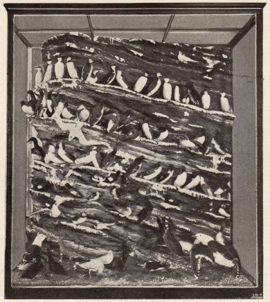 Photograph of a display case containing guillemots from Helgoland